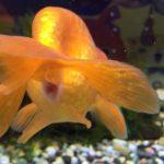 金魚の糞 長いのが良いとは限らない