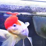 金魚「丹頂」赤い帽子をかぶったヤツの魅力