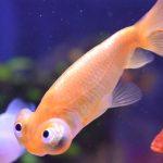 金魚とプラティの混泳:可能であるが問題もある