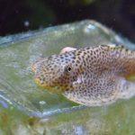 金魚と熱帯魚他との混泳(オトシン、プレコもどき編)