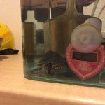 カメの嚙みつき対策カバー自作:ミシシッピニオイガメ