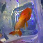 金魚の病気:予防の極意ー武道の達人は金魚の達人でもあった