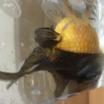高頭パール:キノコ頭の愉快な金魚!これからはこれか?!