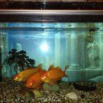 金魚の入手先と初めての飼育に最適な「和金」