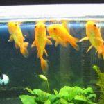 水槽での金魚の適正飼育数と和金の場合