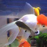 金魚の病気の兆候:丹頂がおかしい