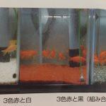 金魚の色揚げと餌と水槽環境の関係
