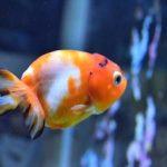金魚「桜錦(さくらにしき)」その作出・固定化への道