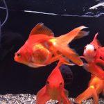 金魚:ファンテイルゴールドフィッシュってなんぞや?