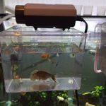 購入した魚の水合わせ:スドーサテライトで楽々!